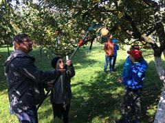 Jak se češou jabloně